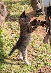 IMG_0557 (jaglazier) Tags: 121818 2018 ahuakivi animals cats chile december easterisland grass kittens mammals motorcycles plants transport copyright2018jamesaglazier cute valparaisoregion
