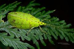 Phyllomimus sp. (Matthieu Berroneau) Tags: orthoptera phyllomimus sp insect insecte borneo sabah malaysia malaisie sauterelle grasshopper sony alpha ff 24x36 macro nature wildlife animal fe 90 f28 g oss fe90f28macrogoss sonya7iii sonya7mk3 sonyalpha7mark3 sonyalpha7iii a7iii 7iii 7mk3 sonyilce7m3 sonyfesonyfe2890macrogoss objectifsony90mmf28macrofe sel90m28g