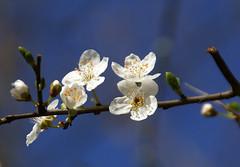 Schlehe / blackthorn (Prunus spinosa) (HEN-Magonza) Tags: mainz botanischergarten botanicalgardens rheinlandpfalz rhinelandpalatinate deutschland germany frühling spring flora schlehe blackthorn prunusspinosa