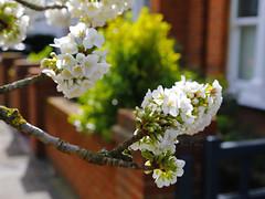 _T6A5569REWS Cherry Blossoms, © Jon Perry, 18-3-19 zbp (Jon Perry - Enlightenshade) Tags: jonperry enlightenshade arranginglightcom 18319 20190318 blossom blossoms cherry cherryblossoms actongreen w4