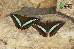 The Green Commodore - ผีเสื้อแถบเขียวอ่อน (Antonio Giudici Butterfly Trips) Tags: athymadaraxadaraxa doiphahompok chiangmai thailand nymphalidae limenitidinae thegreencommodore ผีเสื้อแถบเขียวอ่อน