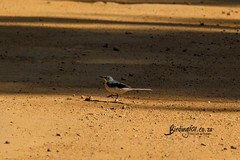 Mountain Wagtail, , Magoebaskloof, Limpopo, Dec 2018 (roelofvdb) Tags: 2019 712 date december limpopo magoebaskloof mountainwagtail place southernafricanbirds wagtail wagtailmountain year