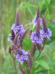 lovely in purple (Cheryl Dunlop Molin) Tags: wildflowers purplewildflowers indianawildflowers bluevervain bluevervainflowers