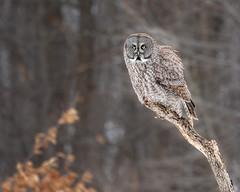 Great Grey Owl (dwb838) Tags: 8x10 greatgrayowl portrait