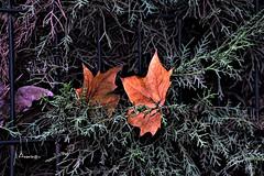 Leaves & Leaves (Anavicor) Tags: hoja leaf hojaseca seca aguja dry parque park contraste reja verja sevilla andalucía españa spain nature vegetation jardín fence nikon d5300 tamron anavicor anavillar villarcorreroana linares