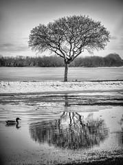 The duck moves in... (Brian Kermath (e.h.designs)) Tags: duck bird birds lakewinnebago oshkoshwisconsin oshkosh wisconsin lake water ice winter tree trees reflection reflections blackandwhite snow ducks springthaw thawing frozen symmetry