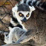 Beautiful lemur looking back thumbnail