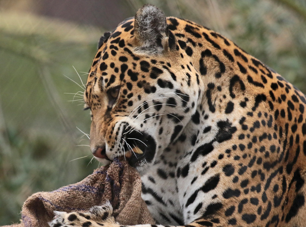 the world's most recently posted photos of dier and jaguar - flickr