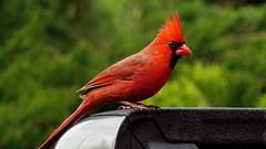 pretty boy! (Hayseed52) Tags: femalecardinal cardinal red green truck virginia usa nature