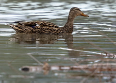 Swimming Mallard Hen (Anas platyrhynchos), Bachechi Open Space, Bernalillo County, New Mexico USA (MikeM_1201) Tags: mallard duck hen animal bird nature water wildlife afternoon bachechiopenspace newmexico usa bernalillocountry d500