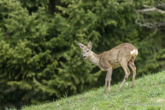 Deer spotting (Fabrizio Malisan Photography @fabulouSport) Tags: animali animals beaufort beaufortain deer fauna nature wildlife france chevreuil biche fawn faune photographieanimaliére wildlifephotography wildlifephotographer fotografianaturalistica natura natur tier tiere animaux