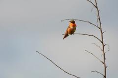 Allen's Hummingbird (linda m bell) Tags: whittiernarrowsnaturecenter southelmonte california socal 2019 birdwatching birding allenshummingbird bird