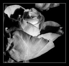 Róża B&W. (andrzejskałuba) Tags: poland polska pieszyce dolnyśląsk silesia sudety europe plant panasonicdmcfz200 lumix roślina kwiat flower flora floral rose róża black blackwhite bw white beautiful biały natura nature natural natureshot natureworld macro monochrome ogród garden cień shadow 100v10f 1000v40f 1500v60f