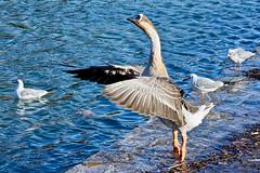 Me montre que c'est le boss (thierrybalint) Tags: oiseau bird eau water palmipède mouettes seagull parc borély marseille park palmiped nikon nikoniste balint thierrybalint