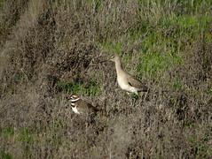 Killdeer and Willet (stonebird) Tags: willet killdeer ballonawetlandsecologicalreserve areab february img7341