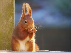 Onverwacht bezoek (aj.lindeboom) Tags: eekhoorn
