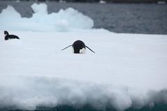IMG_3821 (y.awanohara) Tags: adelie adeliepenguins penguins antarctica antarcticpeninsula wildlife january2019 icebergs ice icefloes
