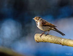 Reed bunting male (vickyouten) Tags: reedbunting nature naturephotography wildlife britishwildlife wildlifephotography birds birdphotography nikon nikond7200 nikonphotography sigma sigma150600mmc penningtonflash leigh uk vickyouten