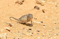 Chameleon (cb dg photo) Tags: chameleon wildlife nambia swakopmund desert animal lizard reptile africa
