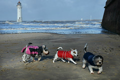 Three little dogs went to the beach. (PentlandPirate of the North) Tags: miniatures schnauzer jackrussell small dogs newbrighton fortperch beach wirral merseyside miniature lighthouse coats pink story