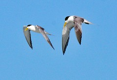Fishing terns! (Uhlenhorst) Tags: 2017 australia australien animals tiere birds vögel travel reisen