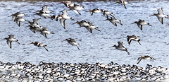 Godwits flying over a stand of Avocets (pootlepod) Tags: canon 7dmkii wildlife rspb avocet godwit lapwing flight flting winter devon southwest england foliage water estuary river tidal exe exmouth marshes flats colour blackwhite nature natural migrants visitors waiting