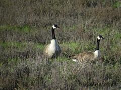 Canada goose pair (stonebird) Tags: canadagoose brantacanadensis ballonawetlandsecologicalreserve area b february img8752