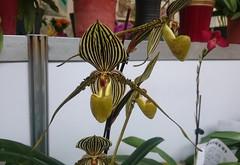 精采的蘭花 Wonderful Orchids (葉 正道 Ben(busy)) Tags: 蘭花 orchids 樂成宮 台中 台灣 媽祖 mazu taichung taiwan 花 flower 金色 golden 微距 macro