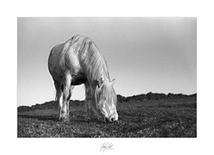 The grass is always greyer.. (AnthonyCNeill) Tags: horse pferd caballo cheval equestrian equine animal tier black white noir blanc blanco negro bianco nero schwarz weis weiss grass field film analog analogue monochrome outdoor countryside grüne campo campagne grain nikon f3 50mm ilford hp5