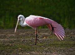 Roseate Spoonbill (ashockenberry) Tags: animal ashleyhockenberryphotography avian eco exotic reserve river travel tourism tropical habitat light majestic nature naturephotography natural native wildlife wildlifephotography wild florida ding darling refuge pink red beautiful beauty spoonbill feathers