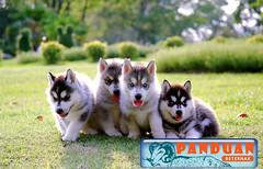 Panduan Beternak - Banyak sekarang yang ingin pelihara anjing husky. Jika kalian ingin pelihara juga kalian bisa membaca Cara Merawat Anjing Husky Dengan Benar. Kami memberikan sarankan kepada (panduanbeternak) Tags: cara merawat anjing husky dengan benar