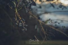 Privet Berries (Brad Lackey) Tags: privet shrub berries poisonous evergreen winter sunset field vintage retro bokeh strobist nikonsb700 nikon50mmf18 niftyfifty d7200