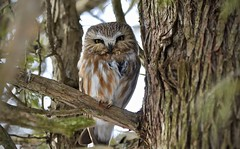 Northern Saw-whet Owl (hd.niel) Tags: northernsawwhetowl owls inthewild nature ontario cedar tiny 8inches wildlife photography nikon