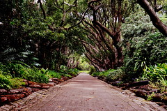 2019-040. (negligible) Tags: kirstenbosch gardens capetown southafrica trees avenue green