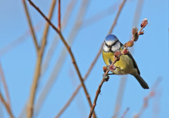 Blue Tit - Michael Bird (Just call me Doc) Tags: bluetit tits bluehead yellowbreast attenboroughnaturereserve attenborough nottingham michaelbird canon tamron 6d g2 150600mm