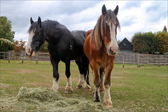 Caesar and Wiggins III (meniscuslens) Tags: horse trust charity retired police drum shire paddock hay grass buckinghamshire aylesbury princes risborough high wycombe