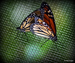 Monarchs Mating (pandt) Tags: monarch butterfly butterflies monarchs mating naples botanical garden florida canon eos slr 6d closeup macro outdoor nature color orange black white green colorful