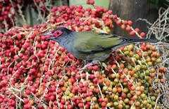 Fig Bird 026 (DMT@YLOR) Tags: bird male figbird berries palm red green goodna queensland ipswich australia aussie native wildlife outdoors outside bangalowpalm food feeding garden flesh eye beak