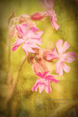 Red Campion flowers (imagesbyhmck) Tags: cleanair environment freshair nature outdoors topaz impression textureeffects fadedlook photoart photomanipulation may 2009 flora plants vascularplants seedplants floweringplants dicotyledons caryophyllidae caryophyllales pinkfamily catchfly redcampion biennial bloom blossom flower flowers wildflowers herbaceous perennial unitedkingdom scotland dumfriesandgalloway annandalesouth dumfriesshire flickr painterlylook paintedeffect annanarea
