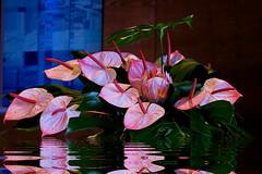 Flores para quem gosta (Zéza Lemos) Tags: flores reflexos reflections rosa algarve água jardim jardins portugal arranjofloral vilamoura