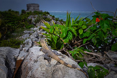 2019 Watching Tulum (jeho75) Tags: sony ilce 7m2 zeiss mexico tulum riviera maya schwarzer leguan black iguana animal wildlife