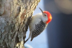 A Sunny Day (Pictures and Pastimes) Tags: woodpecker birds nature sunshine red