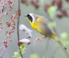 Hopper. (Omygodtom) Tags: wildlife bokeh bird commonyellowthroat outside oaksbottom nikon70300mmvrlens dof colours