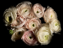 RANUNCULUS (J.P.B) Tags: buttercup sf60 flash ranunculus pastel pink white bunch