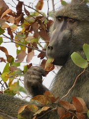 Baboon  ( the Portrait ) / Bobbejaan (Pixi2011) Tags: baboons krugernationalpark southafrica africa wildlife nature animals