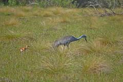 Sand Hill Chick_b (NC Mountain Man) Tags: sandhillcrane chick grassland trees birds dof baby ncmountainman nikon d3400 phixe lowresolutionversion circlebbarreserve florida