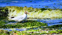 Chroicocephalus ridibundus (mixi7395) Tags: gaviota ave life bird sea mar ola green colors beautiful