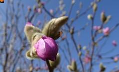 """Rosa Stern-Magnolie - Magnolia stellata Rosea (8 von 12er-Serie) (warata) Tags: 2019 deutschland germany süddeutschland southerngermany schwaben swabia oberschwaben """"upper swabiaschwäbisches oberland badenwürttemberg fruhling spring blume blüte pflanze natur """"magnolia stellata rosea"""" sternmagnolie magnolie nature outside landscape garden"""