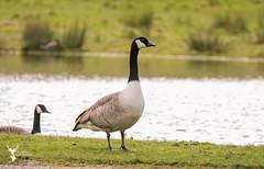 Canada geese (DarkleMoner) Tags: bird canada canadagoose geese goose wildlife nature