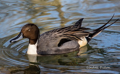 Northern Pintail (Lindell Dillon) Tags: northernpintail waterfowl nature oklahoma wildoklahoma okczoo